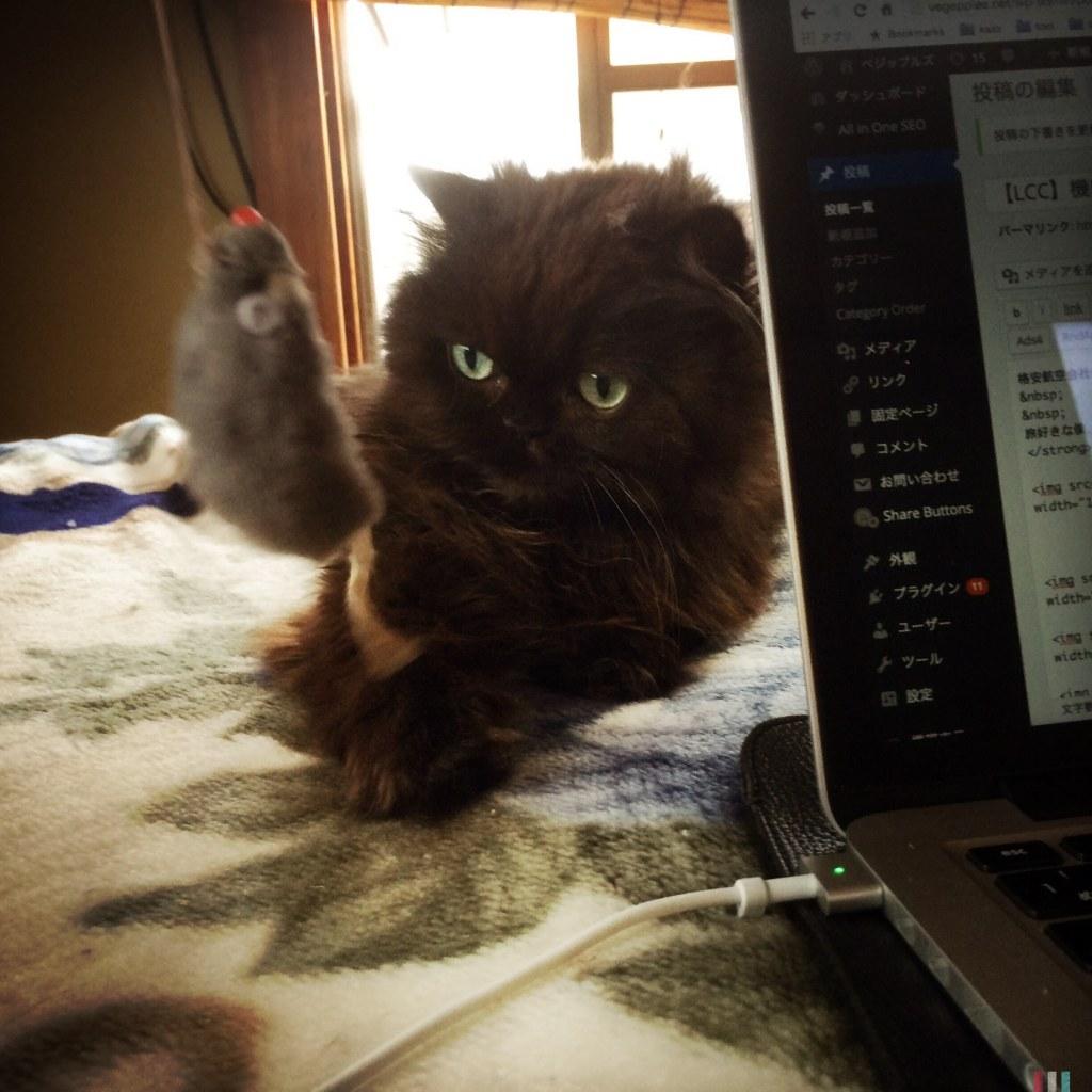 黒猫 チンチラ